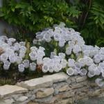 Колокольчик согнутый (Campanula incurva)