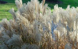 Купить семена, растение – Мискантус сахароцветковый (Miscanthus sacchariflonis)