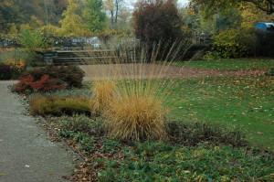 Купить семена, растение – Молиния тростниковая (Molinia arundinacea)