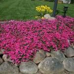Чабрец Пурпур, или Тимьян ползучий (Thymus serpyllum)