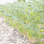 """Купить семена, растение – Нут Алтайский """"Кулундинский 5 (Cicer arietinum)"""