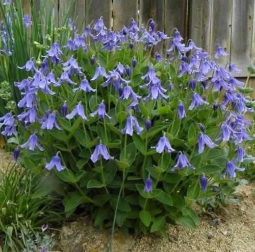 Купить семена, растение – Ломонос (клематис) цельнолистный (Clematis integrifolia)