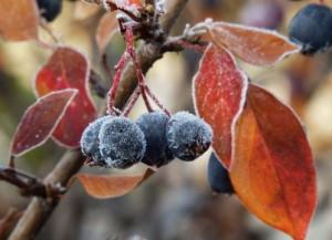 Купить семена, растение – Кизильник Черноплодный (Cotoneaster melanocarpus)