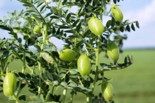 Купить семена, растение – Нут, Турецкий горох (Cicer arietinum)