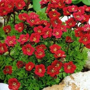 Купить семена, растение – Камнеломка Пурпурный цвет