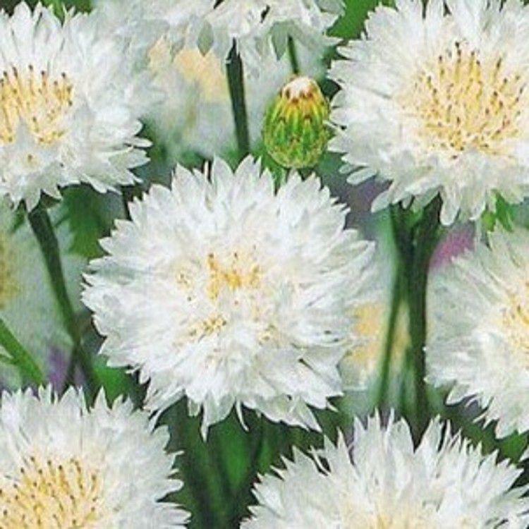 Купить семена, растение – Василек Махровый Белый (Centaurea paniculata)