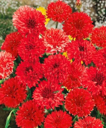 Купить семена, растение – Василек Махровый Красный (Centaurea paniculata)