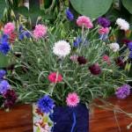 Купить семена, растение – Василек Махровый Синий (Centaurea paniculata)