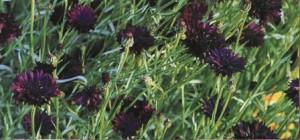 Купить семена, растение – Василек Махровый Черный (Centaurea paniculata)