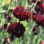 Купить семена, растение – Василек Махровый Бордо (Centaurea paniculata)
