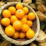 Купить семена, растение – Физалис флоридский (Physalis floridana)