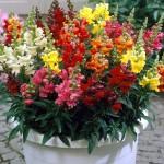 Купить семена, растение – Львиный зев (низкорослый