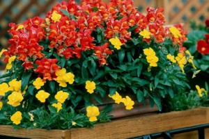 Купить семена, растение – Львиный зев (низкорослый)