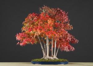 Купить семена, растение – Клен серебристый (Acer saccharinum)
