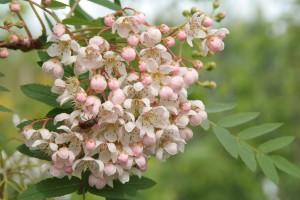 Купить семена, растение – Рябина белая Кашмирская (Sorbus cashmiriana)