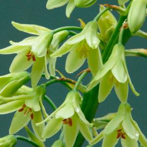 Купить семена, растение – Гальтония зеленоцветковая (Galtonia viridiflora)