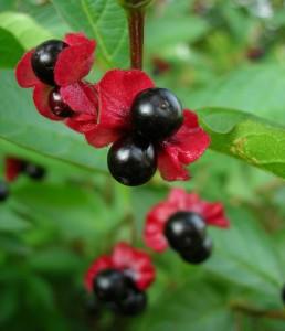 Купить семена, растение – Жимолость покрывальная (Lonicera involucrata)