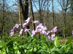 Купить семена, растение – Зубянка клубненосная (Dentaria bulbifera)