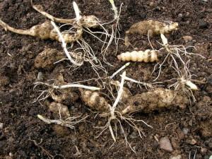 Купить семена, растение – Китайский артишок (Stachys affinis)