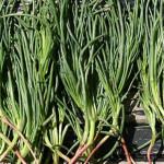 Купить семена, растение – Солянка содоносная (Salsola soda)