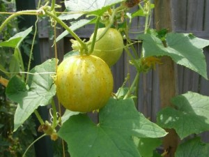 Купить семена, растение – Огурец-лимон