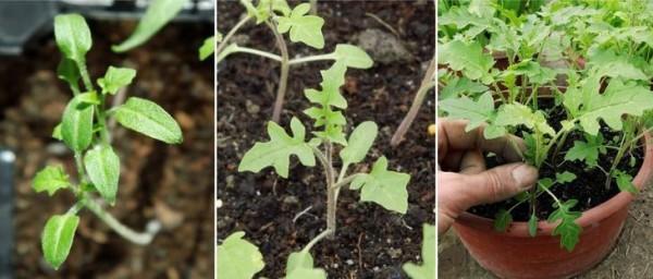 Купить семена, растение – Колючий помидор (Solanum sisymbriifolium)