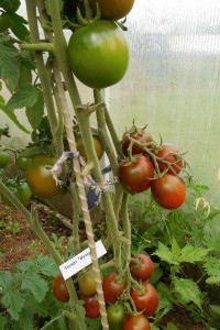 Купить семена, растение – Томат Кумато