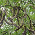 Купить семена, растение – Гледичия трехколючковая (Gleditsia triacanthos)