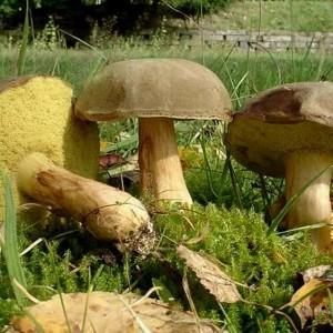 Купить мицелий Моховик зеленый (Xerocomus subtomentosus)