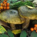 Купить мицелий Черный груздь (Lactarius necator)