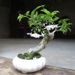 Купить семена, растение – Райтия Священная (Wrightia religiosa)