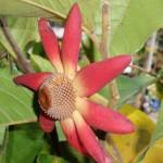 Купить семена, растение – Увария красная (Uvaria rufa)