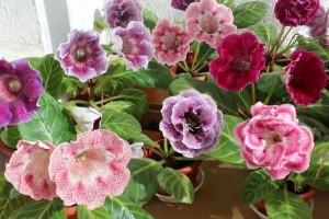 Купить семена, растение – Синнингия соразмерная (Sinningia eumorpha)