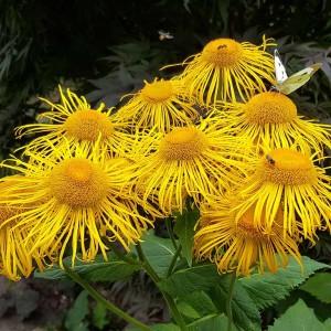 Купить семена, растение – Телекия красивая (Telekia specios)