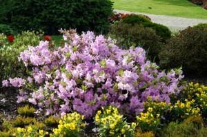 Купить семена, растение – Рододендрон пукханский (Rhododendron poukhanense)