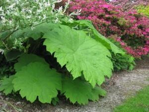 Купить семена, растение – Астильбоидес пластинчатый (Astilboides tabularis)