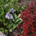 Купить семена, растение – Хоста миниатюрная