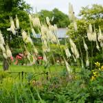 Купить семена, растение – Клопогон кистевидный (Actaea racemosa)