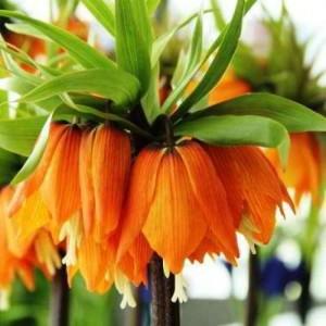 Купить семена, растение – Рябчик императорский (Fritillaria imperialis)