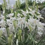 Купить семена, растение – Парадизея лилиевидная (Paradisea liliastrum)