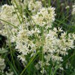 Купить семена, растение – Ожика снежная (Luzula nivea)