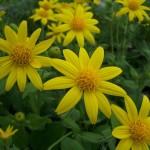 Купить семена, растение – Арника облиственная (Arnica foliosa)