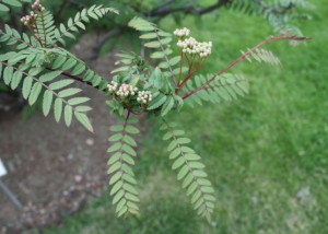 Купить семена, растение – Рябина белая Кёне (Sorbus koehneana)
