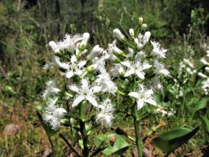 Купить семена, растение – Вахта трехлистная (Menyanthes trifoliata)