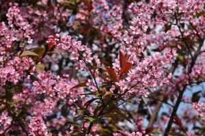 Купить семена, растение – Черемуха Колората (Prunus padus Colorata)