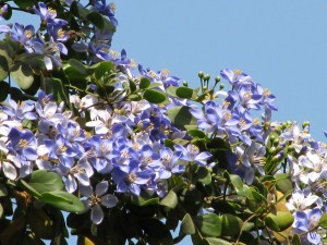 Купить семена, растение – Гваякум священный (Guaiacum sanctum)