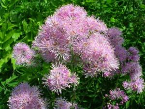 Купить семена, растение – Василисник водосборный (Thalictrum aquilegiifolium)