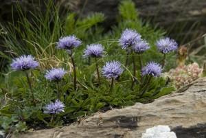 Купить семена, растение – Шаровница волосоцветковая (Globularia trichosantha)