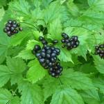 Купить семена, растение – Воронец колосистый (Actaea spicata)