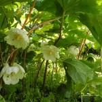 Купить семена, растение – Подофилл (Podophyllum peltatum)
